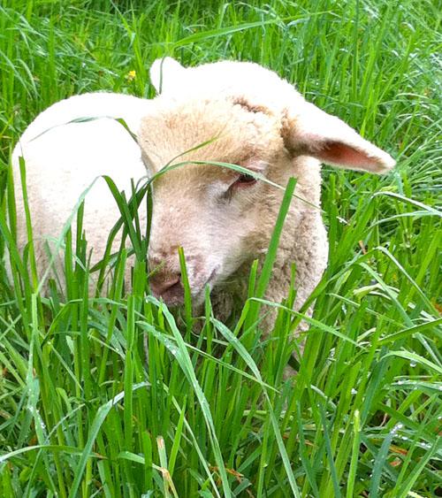 Crispin. cormo lamb. pasture. foxfire fiber