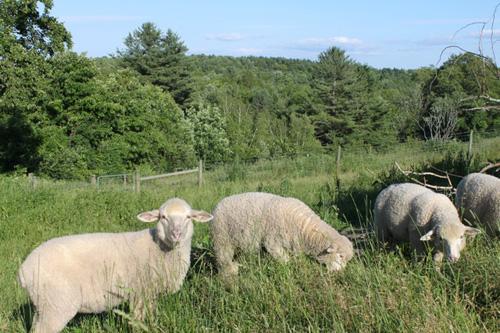 Lambs in summer pasture.foxfire fiber farm
