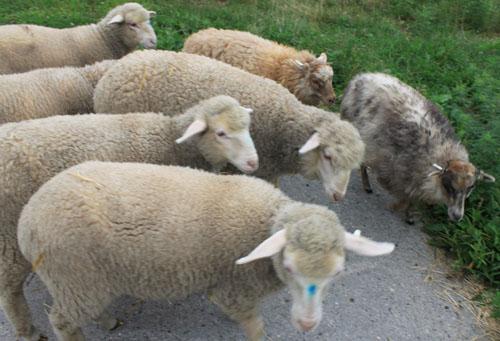Lambs meet lambs
