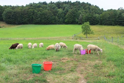 Shetland lambs on pasture