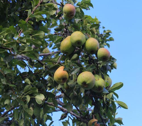 Pears 2. foxfire fiber