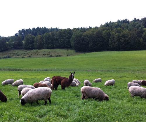 Sol Llama, sheep, foxfire fiber