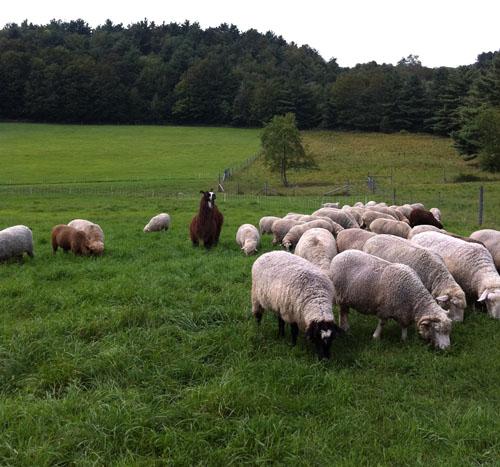 Sol llama, fiber sheep flock. foxfire fiber