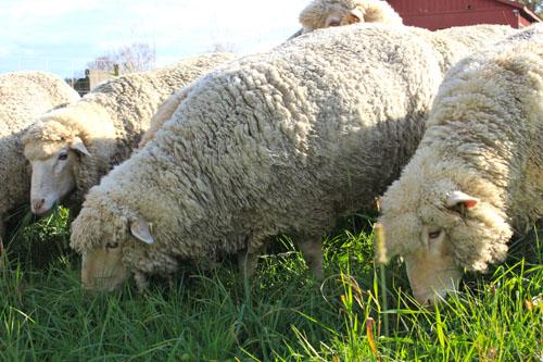 Sheep change pasture 4. oct 2011