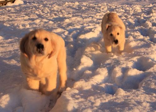 Snow puppies 2. foxfirefiber