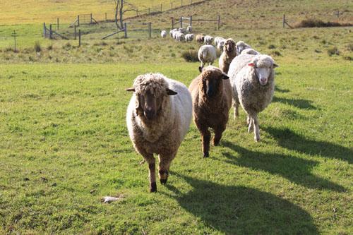 Sheep changing pastures oct 2011