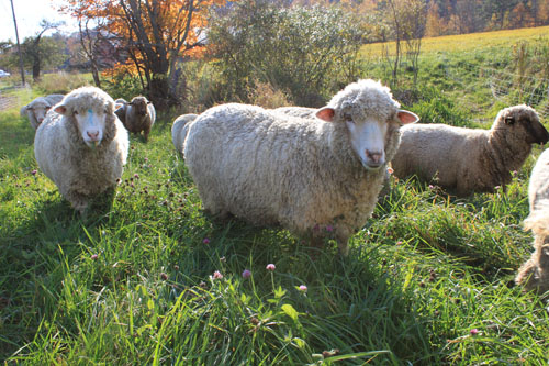 Sheep change pasture 6