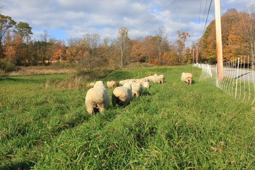 Sheep change pasture 7