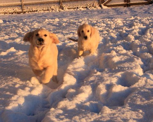 Snow puppies 1. foxfirefiber