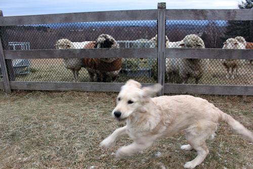 Rams & puppy 2. foxfire fiber