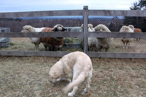 Rams & puppy. foxfire fiber