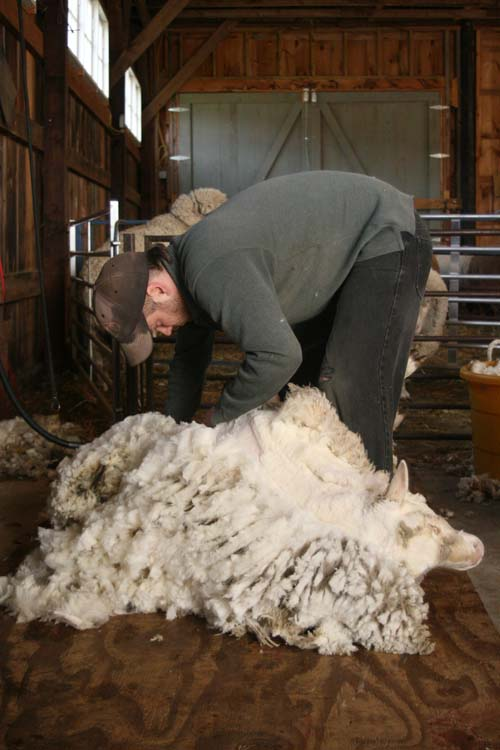 Sheep Shearer shearing Day at Foxfire Fiber