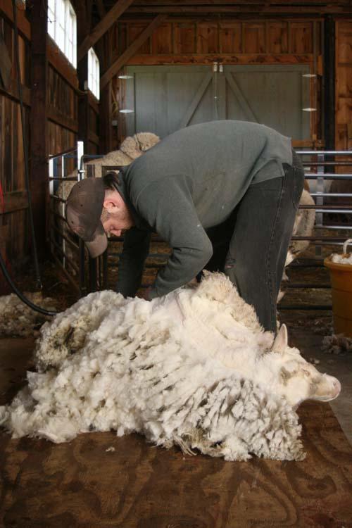 Sheep Shearer shearing Day at Foxfire Fiber