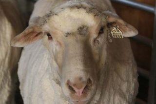 Dolce Shearing Day. Foxfire Fiber