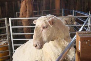 Shorn sheep. shearing day. foxfire fiber