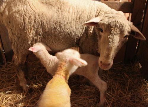 First lambs 2012. Java. Foxfire Fiber