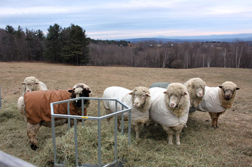 Rams at hay feeder 1. foxfire fiber