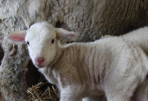 Lambs. Buttercup. May 2012. Foxfire Fiber