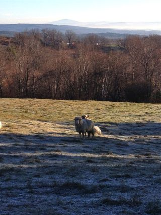 Cormo sheep ram Teaberry. frosted pasture. Foxfire Fiber