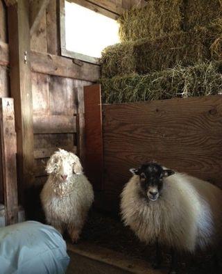Shetland sheep, angora goat, Foxfire FIber