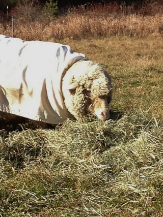 Cormo ewe on Thanksgiving Day. Foxfire Fiber