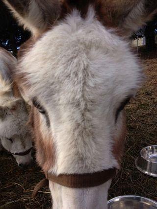 Cupcake CloseUp Mini donkey. Foxfire Fiber