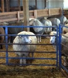 Sheep in barn. Foxfire Fiber
