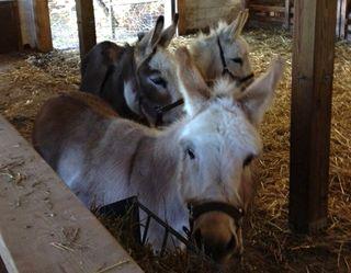 Donkey trio Foxfire Fiber