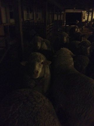 Sheep flock night barn. Foxfire Fiber