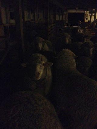 Sheep flock night barn. Foxfire Fiber