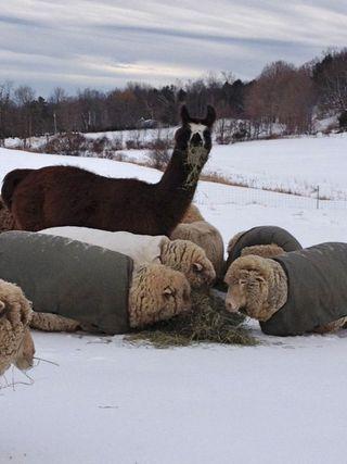 Sol Llama & sheep. winter. Foxfire Fiber