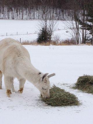 Beautiful Caitlyn llama. winter. Foxfire Fiber