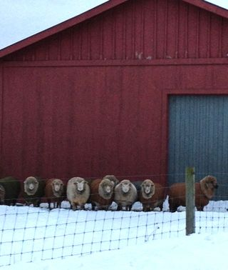 Cormo rams in winter. Foxfire Fiber