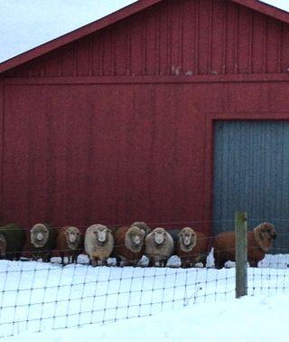 Cormo rams in winter. Foxfire Fiber