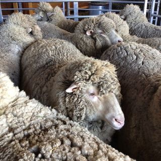 Sheep in crowd pen on shearing day. FoxfireFiber