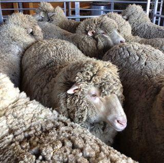 Sheep in crowd pen on shearing day. FoxfireFiber