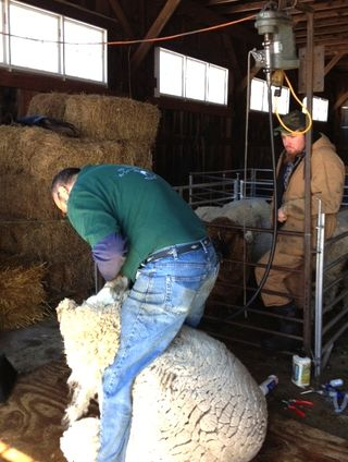 Shearing Cormo ewe. Foxfire Fiber