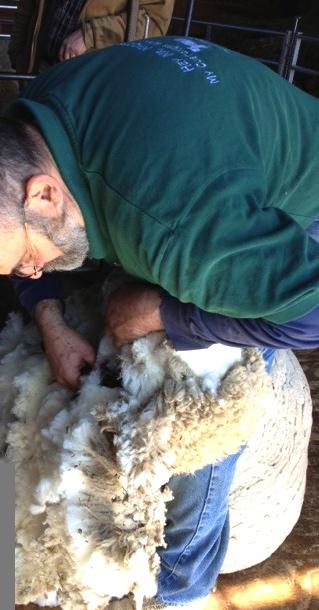 Shearing close up. Foxfire Fiber