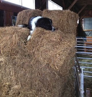 Border collie on bales. Foxfire Fiber