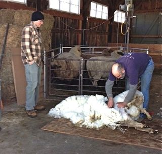 Shearer at work. Foxfire Fiber