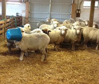 Sheep in a bucket 2