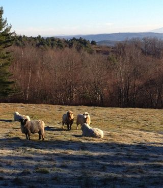 Rams frosted pasture. Foxfire Fiber