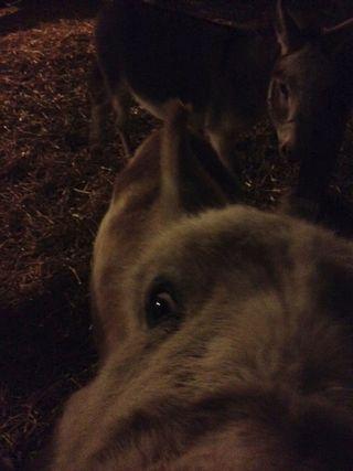 Donkeys night barn. Foxfire Fiber