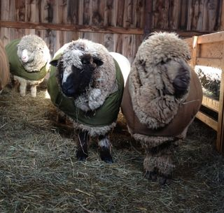 Rams Ready for Shearing Day. FoxfireFiber