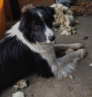 Meg, Border Collie on shearing Day. Foxfire Fiber