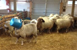 Sheep in a bucket1 Foxfire Fiber & Desings