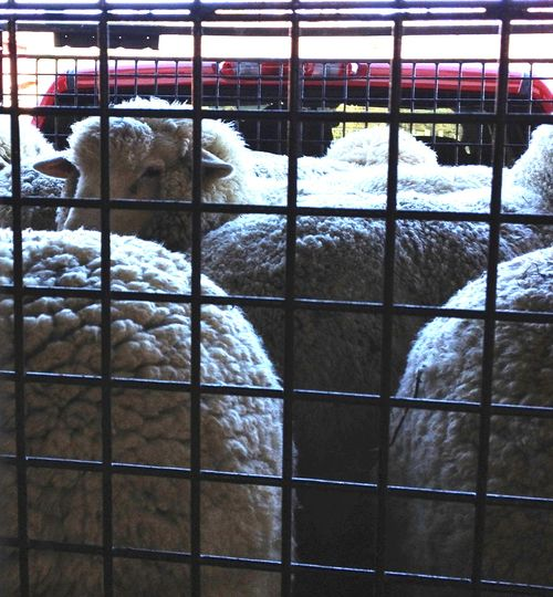 Ewes leaving for martha's vineyard. Foxfire Fiber