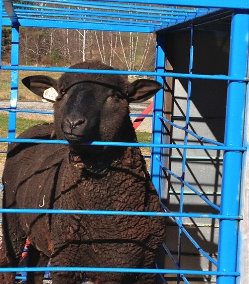 Black Ram going to Martha's Vineyard