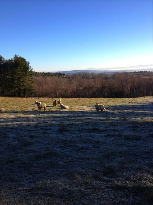 Rams in frosted pasture 1. Foxfire Fiber