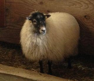 Sassy, Shetland ewe. Foxfire Fiber